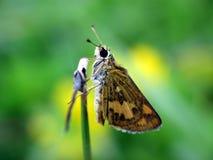 Καφετιά πεταλούδα που στηρίζεται σε μια χλόη στοκ εικόνες