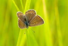 καφετιά πεταλούδα Argus Στοκ Εικόνα