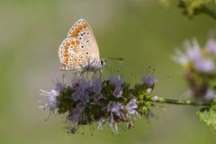 Καφετιά πεταλούδα Argus, agestis Aricia Στοκ εικόνα με δικαίωμα ελεύθερης χρήσης
