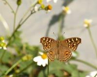 Καφετιά πεταλούδα και ισπανικά λουλούδια βελόνων Στοκ φωτογραφία με δικαίωμα ελεύθερης χρήσης