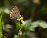 Καφετιά πεταλούδα και ισπανικά λουλούδια βελόνων Στοκ Εικόνες