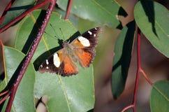 Καφετιά πεταλούδα στα φύλλα γόμμας Στοκ φωτογραφίες με δικαίωμα ελεύθερης χρήσης