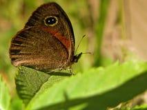Καφετιά πεταλούδα 2 τροπικών δασών στοκ φωτογραφία