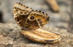 Καφετιά πεταλούδα στοκ εικόνες με δικαίωμα ελεύθερης χρήσης