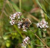 Καφετιά πεταλούδα Argus Στοκ εικόνες με δικαίωμα ελεύθερης χρήσης