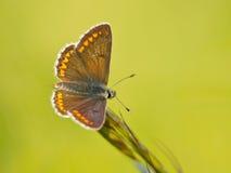 Καφετιά πεταλούδα Argus Στοκ Εικόνες