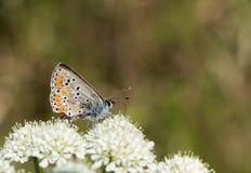 Καφετιά πεταλούδα Argus aka agestis Aricia σε στάση, σχεδιάγραμμα Στοκ εικόνες με δικαίωμα ελεύθερης χρήσης