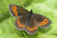 Καφετιά πεταλούδα Arran Στοκ φωτογραφίες με δικαίωμα ελεύθερης χρήσης