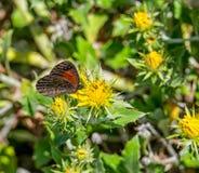 Καφετιά πεταλούδα Trimens Στοκ φωτογραφία με δικαίωμα ελεύθερης χρήσης