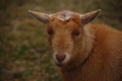 Καφετιά πρόβατα μικρής, τρίχας θεραπείας κοντά με τα μάτια που κοιτάζουν επίμονα στη κάμερα Στοκ Φωτογραφίες