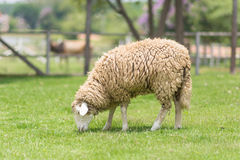 Καφετιά πρόβατα Στοκ Εικόνες