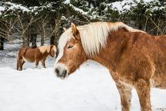 Καφετιά πόνι στο χιονώδες δάσος δέντρων πεύκων Jura το χειμώνα Στοκ εικόνα με δικαίωμα ελεύθερης χρήσης