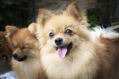 Καφετιά σκυλιά Pomeranian Στοκ Εικόνα