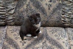 Καφετιά σκωτσέζικη συνεδρίαση γατακιών στον καναπέ Στοκ Εικόνες