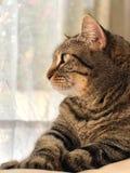 Καφετιά τιγρέ γάτα Στοκ φωτογραφία με δικαίωμα ελεύθερης χρήσης