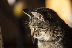 Καφετιά τιγρέ γάτα Στοκ Εικόνες