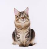 Καφετιά τιγρέ γάτα Coon Manne Στοκ Φωτογραφίες