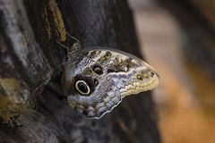 Καφετιά τροπική πεταλούδα σε ένα δέντρο στοκ εικόνα με δικαίωμα ελεύθερης χρήσης