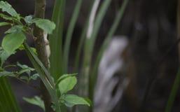 Καφετιά φάση πράσινο Anole Στοκ Φωτογραφίες