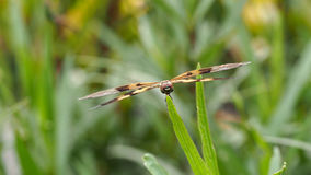 Καφετιά φτερά λιβελλουλών σκαρφαλωμένα Στοκ φωτογραφία με δικαίωμα ελεύθερης χρήσης