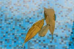 Καφετιά φύλλα που επιπλέουν στη λίμνη με ένα συμπαθητικό δικαίωμα αντανάκλασης λαμπυρίσματος στην κορυφή, και σαφή μπλε νερά aqua Στοκ εικόνες με δικαίωμα ελεύθερης χρήσης