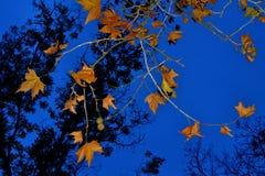 Καφετιά φύλλα φθινοπώρου που εξισώνουν το μπλε ουρανό κοβαλτίου Στοκ Εικόνες