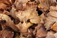 Καφετιά φύλλα στοκ φωτογραφία με δικαίωμα ελεύθερης χρήσης