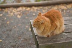 Καφετιά χαλάρωση γατών στον πάγκο φθινοπώρου Στοκ Εικόνες
