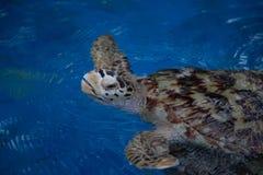 Καφετιά χελώνα Στοκ φωτογραφία με δικαίωμα ελεύθερης χρήσης