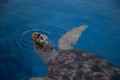 Καφετιά χελώνα 3 Στοκ φωτογραφία με δικαίωμα ελεύθερης χρήσης