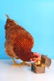 καφετιά χρυσή κότα αυγών Πά&sigma Στοκ Εικόνες