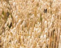 Καφετιά agestis Aricia πεταλούδων Argus που σκαρφαλώνουν σε μια βρώμη συγκομιδών βρωμών sativa Στοκ φωτογραφίες με δικαίωμα ελεύθερης χρήσης