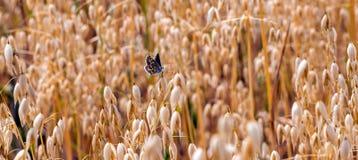 Καφετιά agestis Aricia πεταλούδων Argus που σκαρφαλώνουν σε μια βρώμη συγκομιδών βρωμών sativa Στοκ εικόνες με δικαίωμα ελεύθερης χρήσης