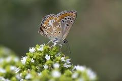 Καφετιά agestis Aricia πεταλούδων Argus Στοκ εικόνες με δικαίωμα ελεύθερης χρήσης