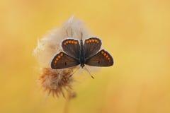 Καφετιά agestis Polyommatus πεταλούδων Argus Στοκ εικόνα με δικαίωμα ελεύθερης χρήσης