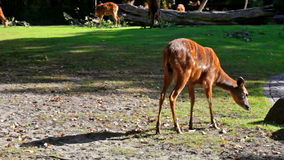 Καφετιά deers που ταΐζουν με τη χλόη στον τομέα απόθεμα βίντεο