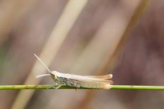 Καφετιά grasshopper pedestris Podisma στο πράσινο φύλλο χλόης Μακρο ρηχό βάθος άποψης του τομέα, εκλεκτική εστίαση Στοκ Εικόνες