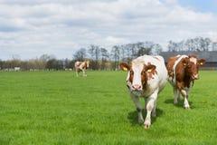 Καφετιές άσπρες αγελάδες Στοκ φωτογραφία με δικαίωμα ελεύθερης χρήσης
