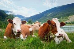 Καφετιές αγελάδες που στηρίζονται στο λιβάδι Στοκ Φωτογραφίες