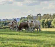 Καφετιές αγελάδες στην επαρχία Στοκ Εικόνα