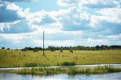 Καφετιές αγελάδες στον πράσινους τομέα και το μπλε ουρανό με τα σύννεφα σωρειτών Στοκ εικόνες με δικαίωμα ελεύθερης χρήσης