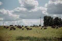 Καφετιές αγελάδες στον πράσινους τομέα και το μπλε ουρανό με τα σύννεφα σωρειτών Στοκ Φωτογραφία