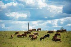 Καφετιές αγελάδες στον πράσινους τομέα και το μπλε ουρανό με τα σύννεφα σωρειτών Στοκ Εικόνες