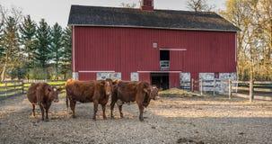 καφετιές αγελάδες τρία Στοκ εικόνα με δικαίωμα ελεύθερης χρήσης