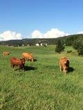 Καφετιές αγελάδες Στοκ Εικόνες