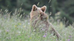 Καφετιές αρκούδες, Τρανσυλβανία, Ρουμανία απόθεμα βίντεο