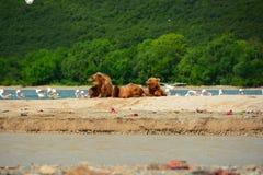 Καφετιές αρκούδες που στηρίζονται στην ακτή Στοκ εικόνα με δικαίωμα ελεύθερης χρήσης