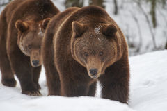 Καφετιές αρκούδες στο χιόνι Στοκ Φωτογραφία