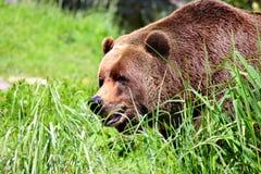Καφετιές αρκούδες Στοκ εικόνες με δικαίωμα ελεύθερης χρήσης
