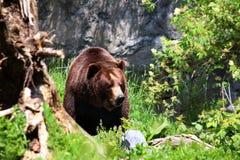 Καφετιές αρκούδες Στοκ Φωτογραφία